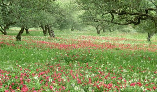 Blühender Mohn unter Olivenbäume