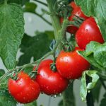 Foto: rote Tomaten am Strauch
